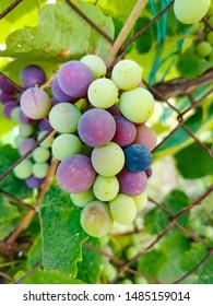 green grape grows in greece