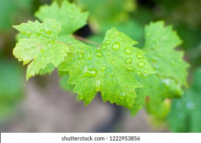 Green grape plant leaves wet after rain.