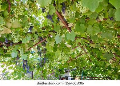 Green grape trellis in Hungary, close to lake Balaton during the summer