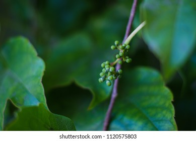 green grape vine buds new growth