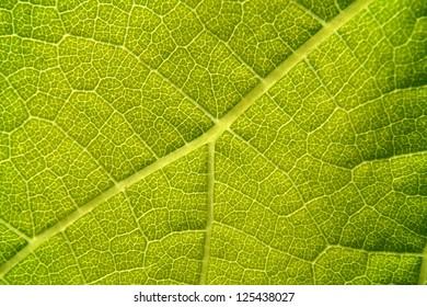 Green grape vine leaf macro