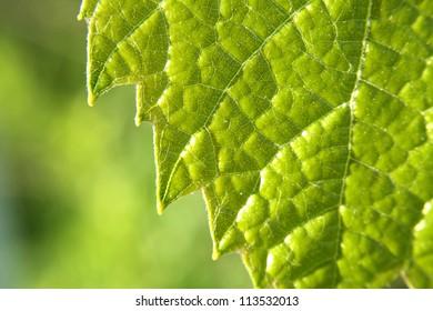 Green grape vine macro