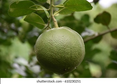 Green grapefruits on a branch