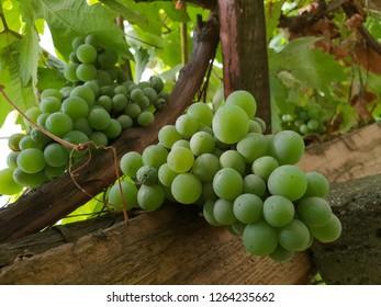 Green grapes in the garden