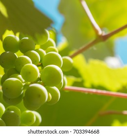 Green grapes grown on the vine with some aqua sky and pink vines