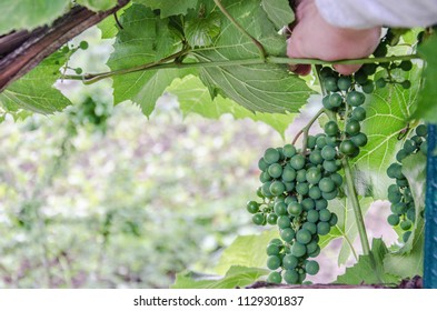 Green grapes and a hand going to take them
