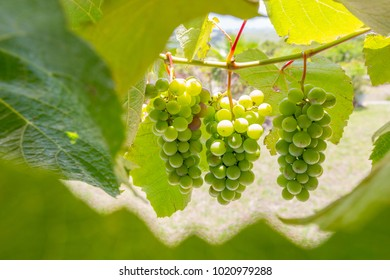 green grapes hanging on the vine framed by green leaves