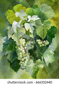 Green Grapes with Leaves.  Watercolor painting of green grapes hanging on a vine with dark and light colored leaves
