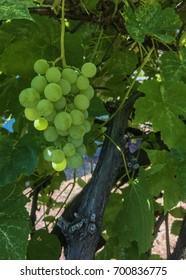 Green grapes on vine.