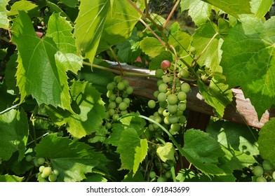 Green Grapes On the Vine - Surrounded By Leaves