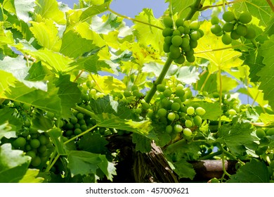 Green grapes on the vine with translucent blue sky