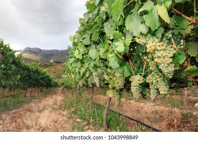 Green grapes on vine in vineyard, mountain background