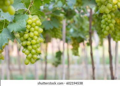 Green grapes on the vine in the vineyard.