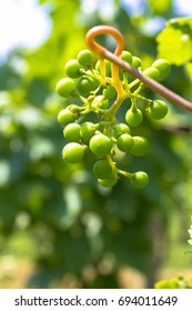 Green grapes in ripening phase
