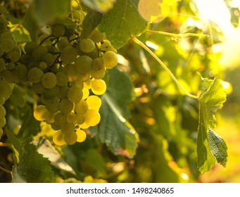 Green grapes of vine in a vineyard