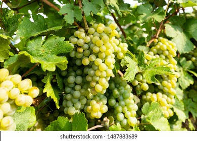 I Am The Vine Images Stock Photos Vectors Shutterstock