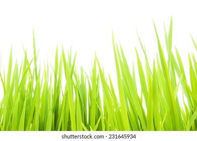 Green grass against white background. Morning