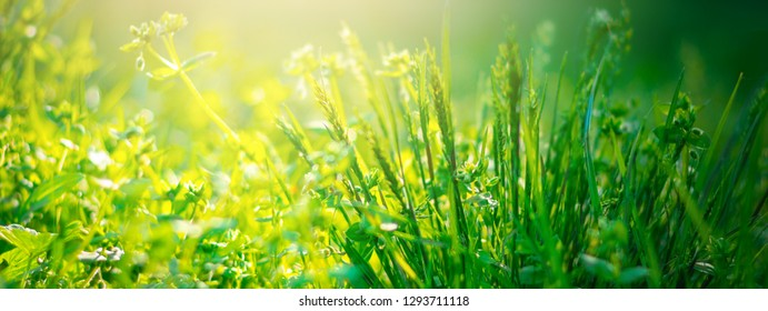Green grass background with copy space. Nature sunlight. Panorama view of spring grass