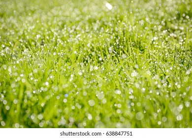 Green grass background with early morning dew./Spring Green Grass
