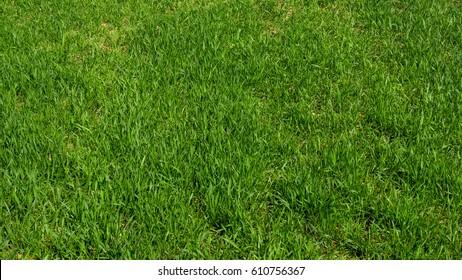 Green grass background. Grass texture