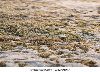 green grass blades and plants covered in snow on a sunny winter
