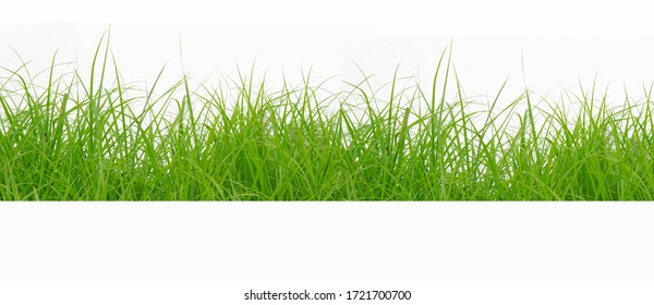 Green Grass Border isolated on white background.The collection of grass.(Manila Grass)The grass is native to Thailand is very popular in the front yard. - Shutterstock ID 1721700700