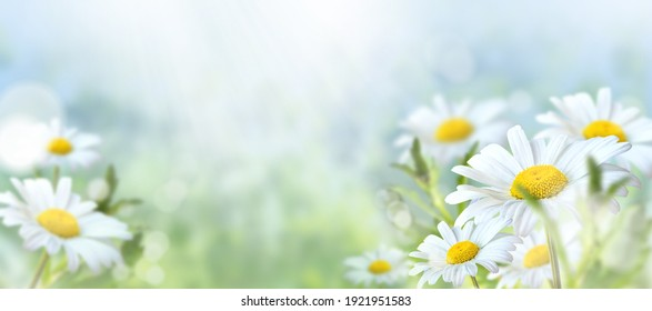 Green grass and chamomile in the meadow. Spring or summer nature scene with blooming white daisies in sun glare. Soft focus.