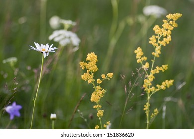 Medicinal herbs yellow flowers tansy on a blurred background green grass and chamomiles in the nature mightylinksfo