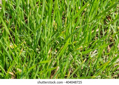 Green grass close up in spring on a sunny day
