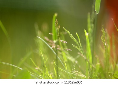 Green grass close-up, meadow fescue in the bright summer sun, background.