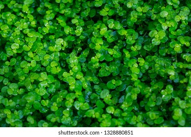 Green grass. Clover field. Fresh dew drops. Spring mood. Summer weather. Nature background.