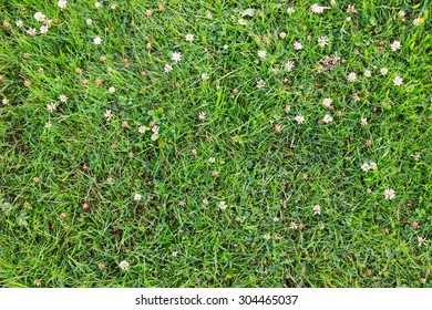 Green grass with clover flowers and other plants on the field or meadow as summer nature background