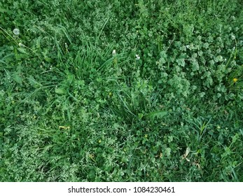 green grass, clover, and weeds