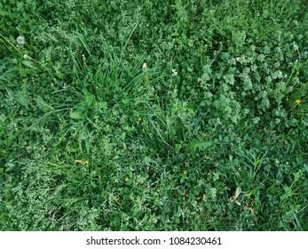 green grass, clover, and weeds