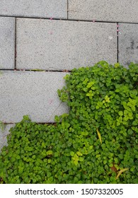 green grass with concrete block pavement pattern detail in landscape (softscape and hardscape) design