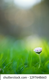 Green grass and daisy flower (Bellis perennis). Selective focus and very shallow depth of field.