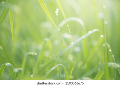 Green grass with dew background