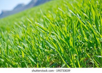green grass in field