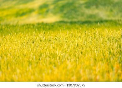 Green grass field in Belarus at sunset, Europe.