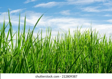 green grass field with blue sky background