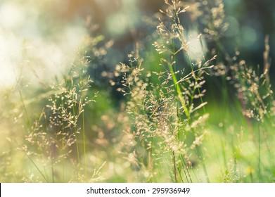 hierba verde en el campo con vigas de sol. Borroso fondo de verano, enfoque selectivo.