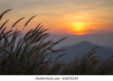 Green grass flower during sundown background.