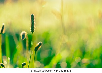 Green grass flower in the early morning  in garden with sunshine. Green grass field with bokeh background in spring season. Nature background. Clean environment. Fresh air. Gentle and mild concept.