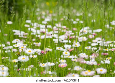 Green grass with flowering daisies (bellis perennis)