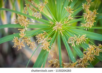 Green grass flowers of Cyperus involucratus (umbrella plant), also known as papyrus sedges, flatsedges, nutsedges, umbrella-sedges and galingales. It's use to make basketry basket, mat and hat.