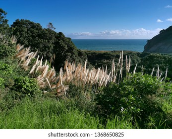 Green grass with golden feathers and Tasman Sea horizon in background