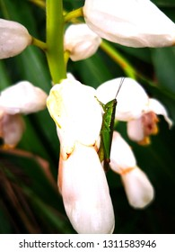 green grass hoppers on white Alpinia chinensis flower