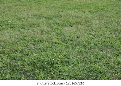 Green grass horizontal background with several small white flowers.