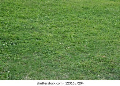 Green grass horizontal background with white flowers and dandelion seed heads.