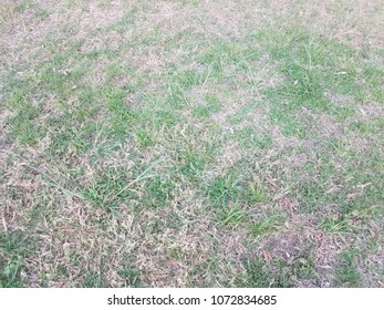 green grass with invasive grass weed